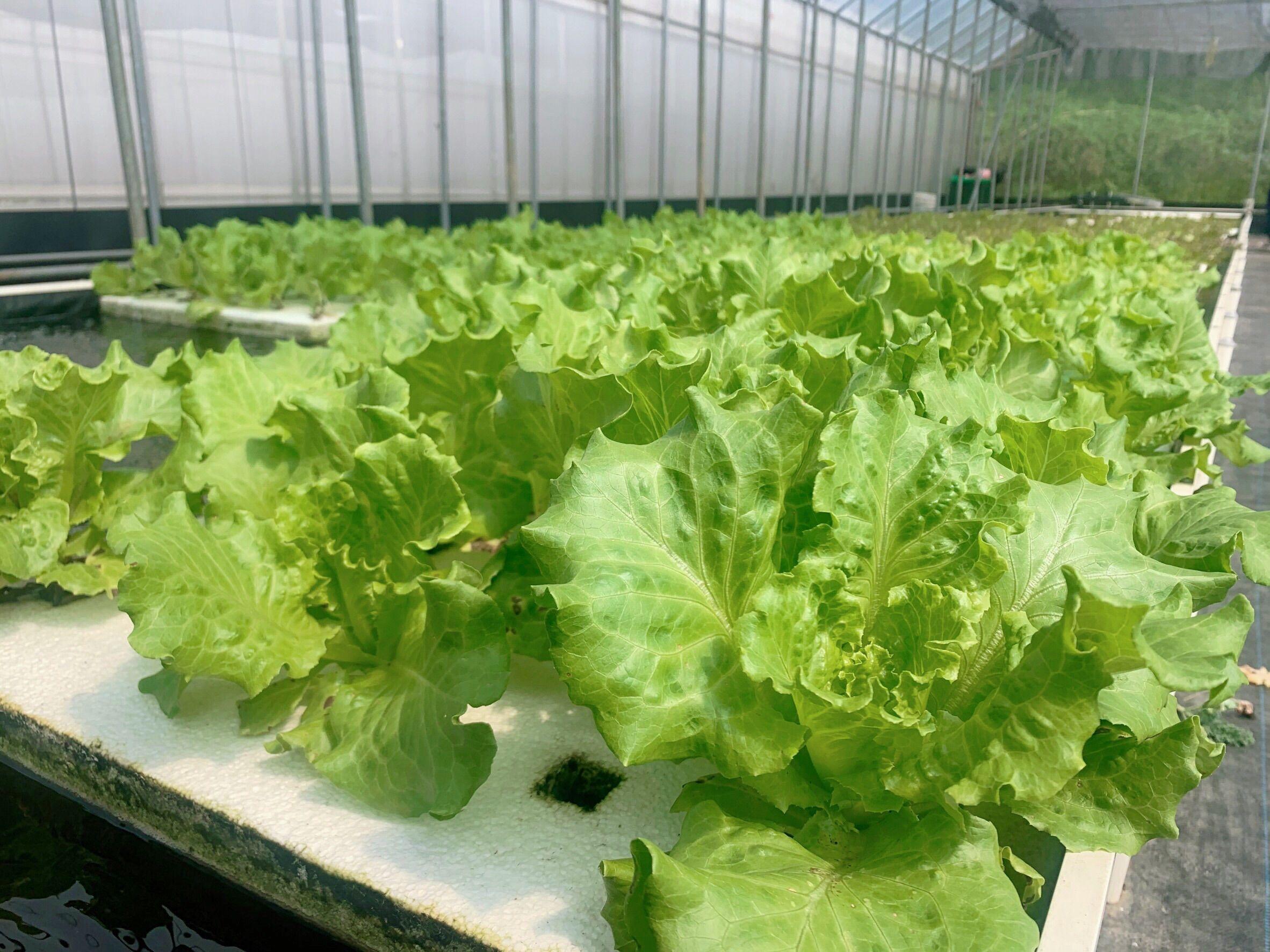水耕有機蔬菜